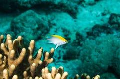 Neoglyphhidodon melas kapoposang indonesia scuba diver Royalty Free Stock Photos