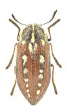 Neojulodis picta Royalty Free Stock Photography