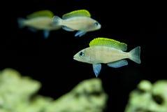Neolamprologus caudopunctatus棋盘Lamprologus非洲丽鱼科鱼鱼 免版税库存照片