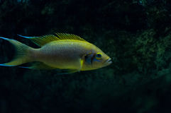 Neolamprologus pulcher. A cichlid from Lake Tanganyika Stock Image