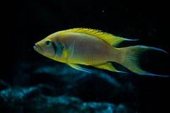 Neolamprologus pulcher 2. Neolamprologus pulcher, a cichlid from Lake Tanganyika Royalty Free Stock Images
