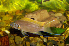 Neolamprologus Pulsher immagine stock