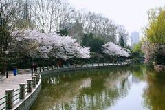 Neolatino dei fiori di ciliegia Immagini Stock