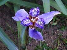 Neomarica-caerulea, gehende Iris - schöne purpurrote Blume lizenzfreie stockbilder