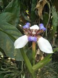 Neomarica gracilis/ Sprague
