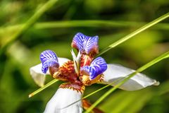 Neomaricanorthiana, het lopen iris in tuin stock fotografie