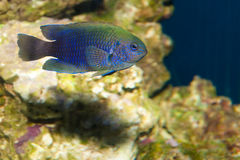 Neon, Allen's Damselfish (Pomacentrus alleni) Royalty Free Stock Photo