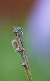 A neon blue Enallagma damsefly perching on a plant Stock Photos