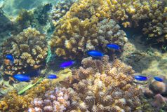 Neon blue fish family in coral reef. Tropical seashore inhabitant underwater photo. Coral reef animal. Warm sea nature. Colorful sea fish and corals. Undersea Royalty Free Stock Photos