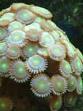 Neon Button Polyps