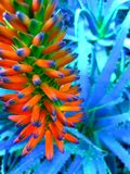 Neon color flower. Boosted color from original Royalty Free Stock Photos