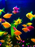 Neon colorful fish aquarium. Colorful neon fish, swimming under a black light in an aquarium. Vibrant fluorescent colors including lemon yellow, orange, hot pink Stock Photography