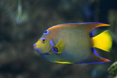 Neon coral fish Stock Image