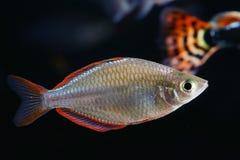 Neon dvärg- Rainbowfish royaltyfri foto