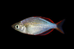 Neon Dwarf Rainbowfish Stock Photo