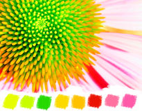 Neon echinacea or purple coneflower color palette Stock Photos
