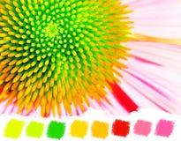 Neon echinacea or purple coneflower color palette Stock Photos