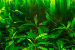 Neon fish in aquarium Royalty Free Stock Photography