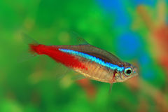 Neon fish aquarium Royalty Free Stock Photography