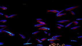 Neon fish in aquarium stock footage