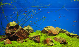 Neon fishes in freshwater aquarium. Freshwater aquarium with rocks, grass and fishes Royalty Free Stock Photo