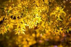 Neon Glow Maple at Korankei -  Asuke, Japan Royalty Free Stock Images