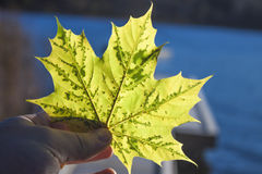 Neon green autumn leaves Royalty Free Stock Images