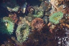 Neon green sea anemone Stock Photos