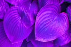 Neon hosta leaves in the morning dew. royalty free stock photo