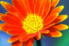 Neon orange flower. Macro shot of an neon orange flower with yellow tips and center, isolated against a blue/green abstract background Royalty Free Stock Photography
