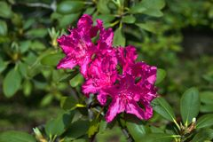 A neon pink azalea flower in the garden stock image