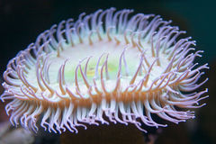 Neon sea anemone Stock Images