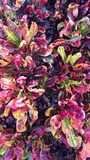 Neon Shrubs. Shrubs with beautiful electric colors in Florida royalty free stock photo