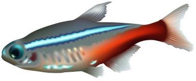 Neon Tetra. (Paracheirodon innesi) - High detailed illustration Stock Images