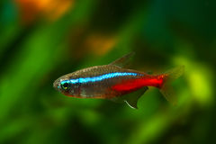 Neon Tetra Royalty Free Stock Images