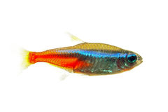 Neon Tetra Royalty Free Stock Photo