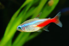 Free Neon Tetra Royalty Free Stock Photography - 46884067