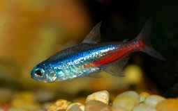 Neon Tetra Royalty Free Stock Image
