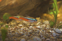 Neon tetra in aquarium Royalty Free Stock Photo