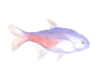 The Neon tetra. Neon tetra. Exotic decorative fish on a white background. Watercolor painting Royalty Free Stock Image