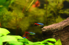 The neon tetra fish. The neon tetra (Paracheirodon innesi) in the aquarium Royalty Free Stock Image