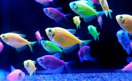neon tropische vissen stock afbeelding
