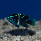 Neon Velvet Damselfish. The Blue Velvet Damselfish , also known as the Japanese Damselfish or the Blue-Streak Devil, is black with small blue stripes and one Royalty Free Stock Photography