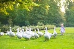 Neonata divertente che insegue le oche selvatiche in un parco Fotografia Stock Libera da Diritti