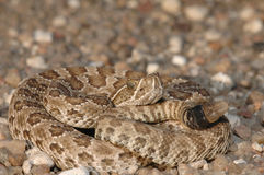 Neonate Prairie Rattlesnake Royalty Free Stock Photo