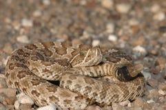 Neonate Prairie Rattlesnake royalty free stock photo