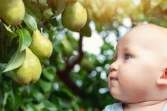 Neonato caucasico sveglio che prende pera verde matura fresca dall'albero in frutteto nel giorno soleggiato luminoso Bambino dive immagine stock libera da diritti