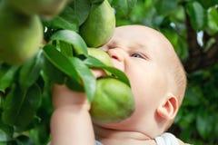 Neonato caucasico sveglio che prende pera verde matura fresca dall'albero in frutteto nel giorno soleggiato luminoso Morso divert fotografia stock libera da diritti