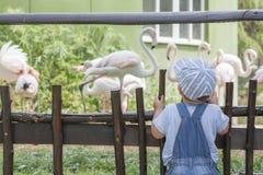 Neonato che guarda i fenicotteri in zoo Immagini Stock