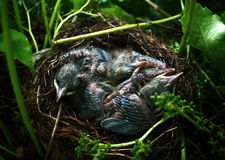 Neonatos do pássaro Foto de Stock Royalty Free